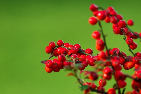 red berries on green