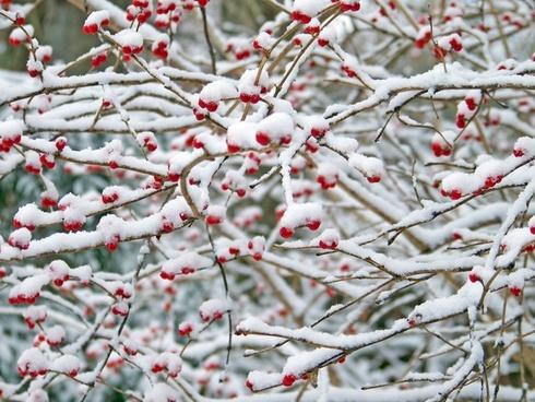 red berries snow