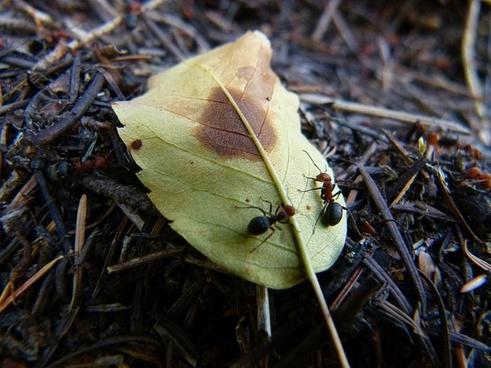 red black ants