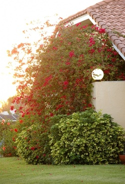 red bougainvillea bush house light