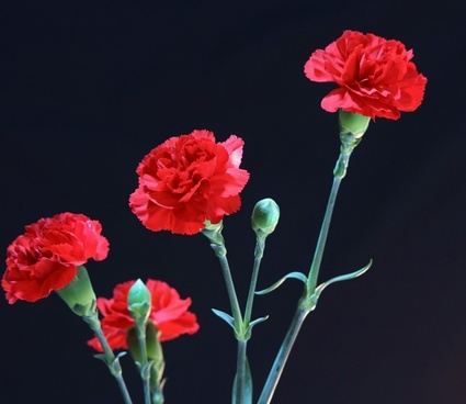 red carnations flowers fragrant