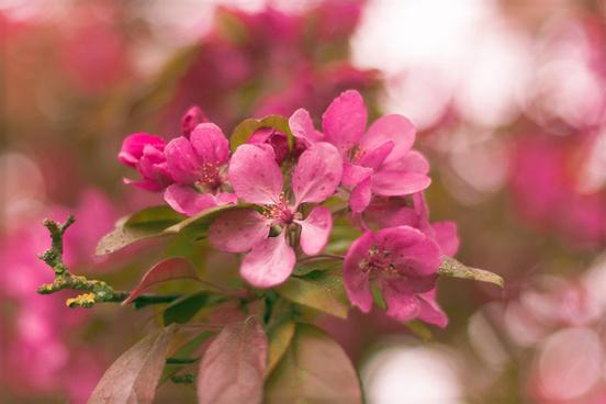 red cherry flower