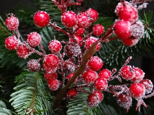 red christmas berries traditionally fir