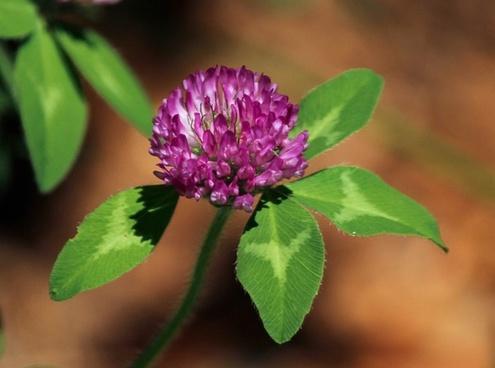 red clover flower blossom trifdium pratense