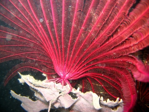 red crinoid reef coral