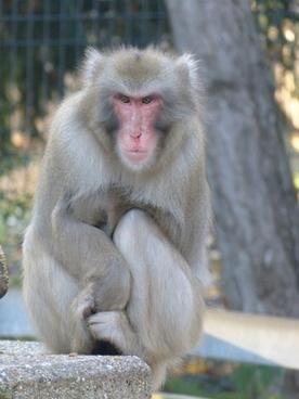 red face macaque macaca fuscata ape
