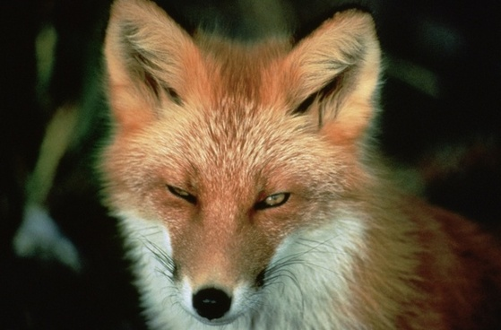 red fox animal wildlife