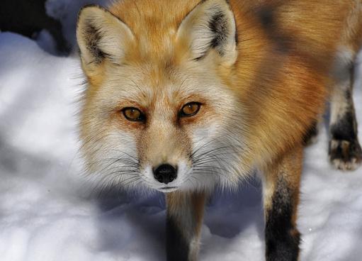 red fox portrait
