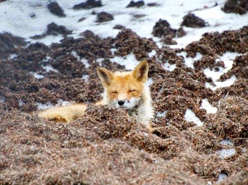 red fox wildlife alaska