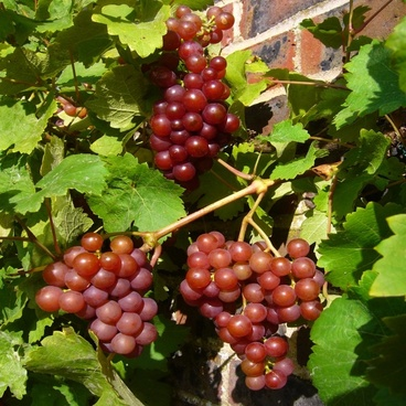 red grapes vine grapes