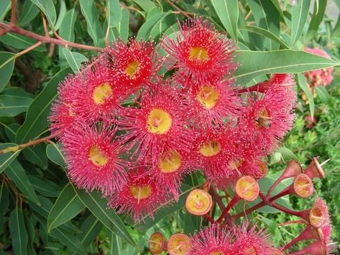 red gum flowers red gum gum