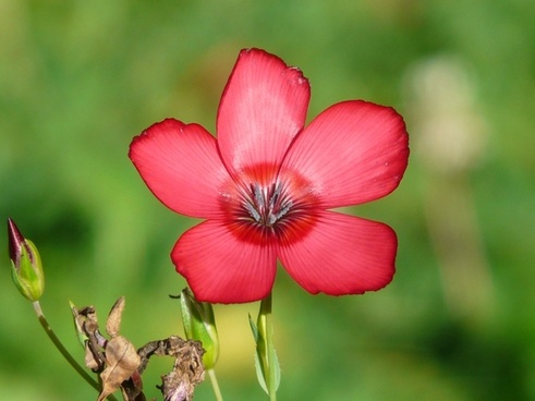 red lein flower red