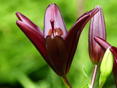 red lily garden flower