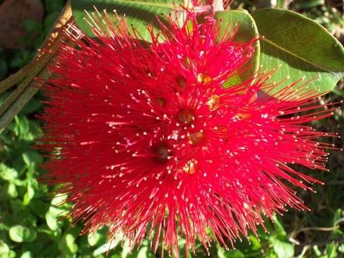 red pohutukawa flower nz