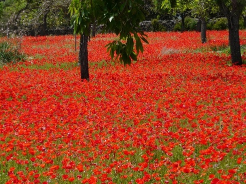 red poppy field of poppies poppies