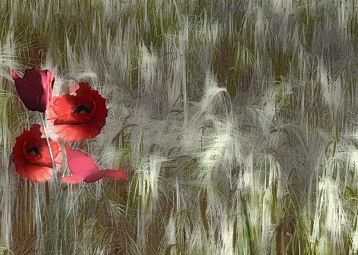 red poppy papaver rhoeas corn field