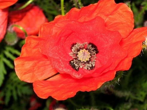 red poppy poppy flower
