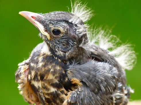 red robin bird chick