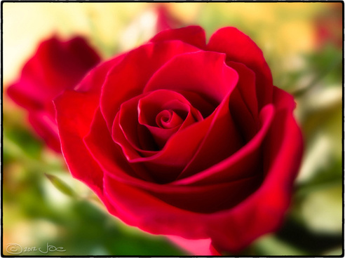 Red Rose Flowers Free Stock Photos Download 16 095 Free Stock