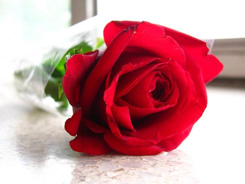 Free Red Rose Image Free Stock Photos Download 7 511 Free Stock