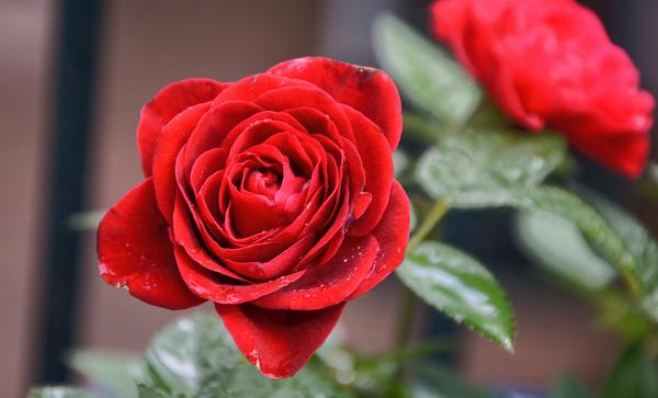 red rose amp raindrops