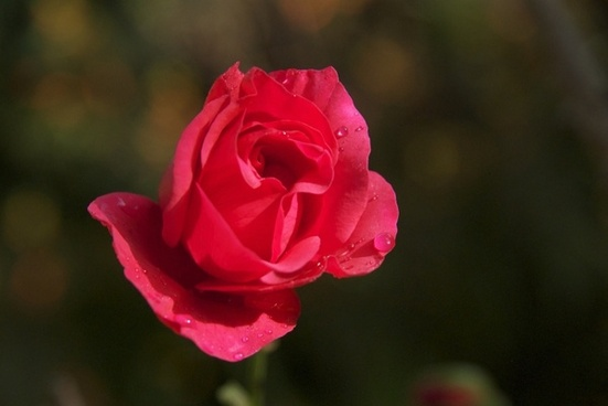 red rose dew flower