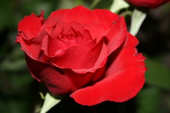 red rose flower gift