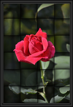 red rose illusion