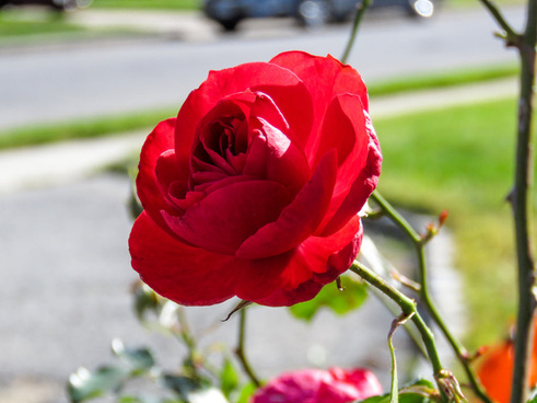 red rose in sunlight