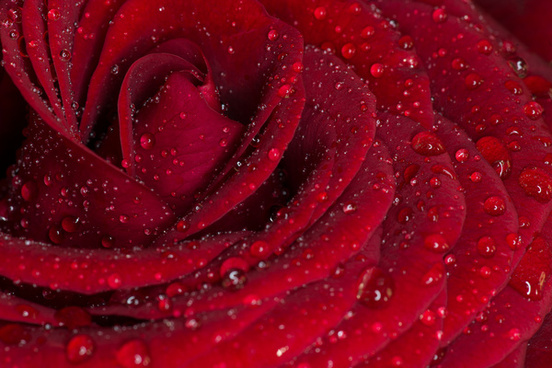 red rose macro close up with rain
