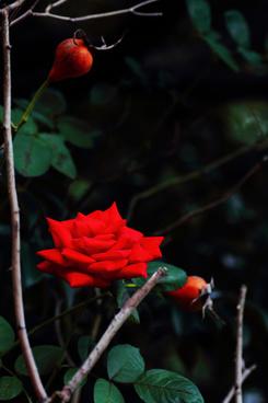 red rose matsudo chiba japan