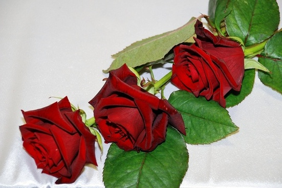 red rose red roses