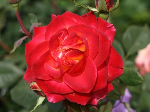 red rose with a yellow heart
