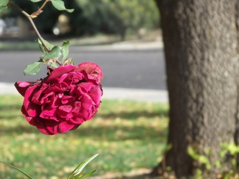 red rose with tree trunk