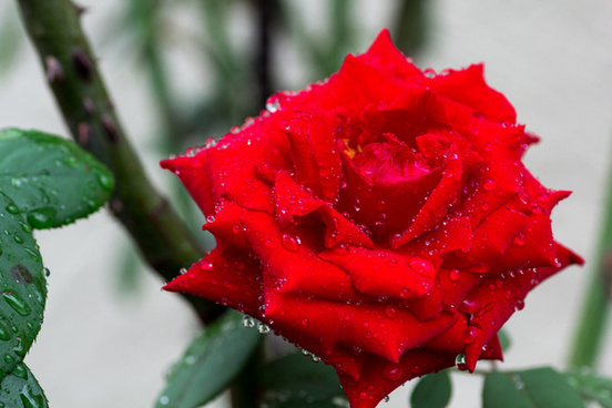 red rose with water drops matsudo chiba japan