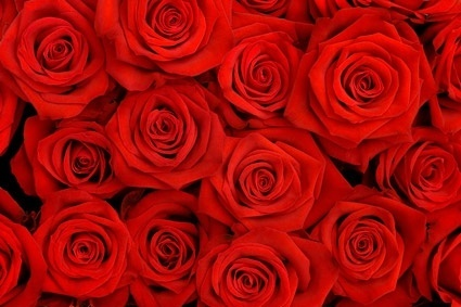 red roses background picture