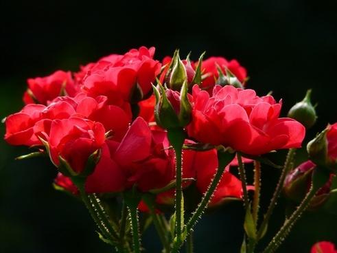 red roses rose roses