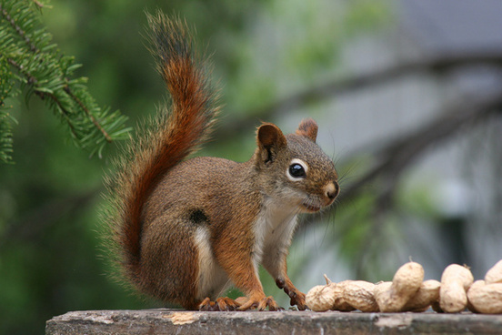 red squirrel 7673