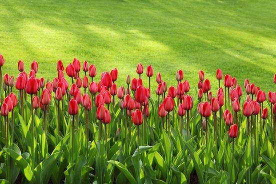 red tulip line