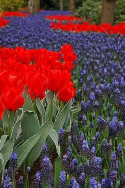 red tulips and grape hyacinths