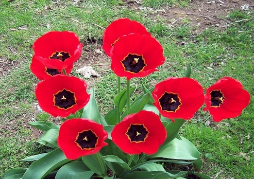 red tulips fully open