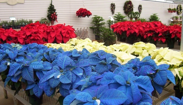 red white amp blue poinsettias