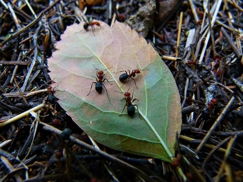 red wood ant busy workers