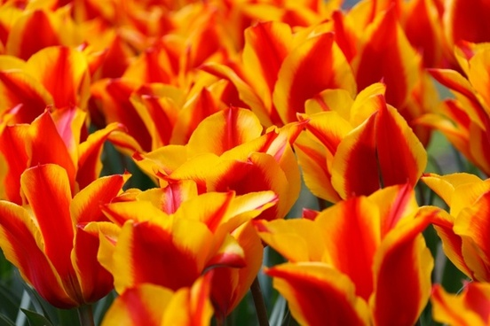 red yellow tulips