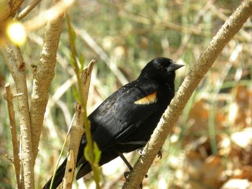 red-winged blackbird animal