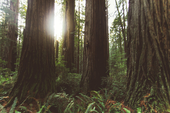 redwood national forest x
