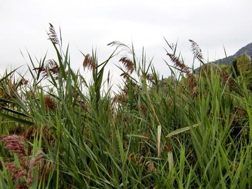 reed grass green