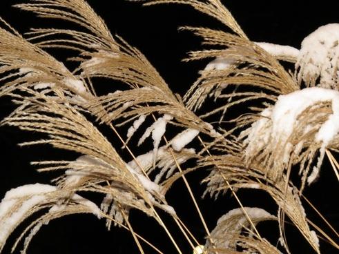 reed grass trockenblume