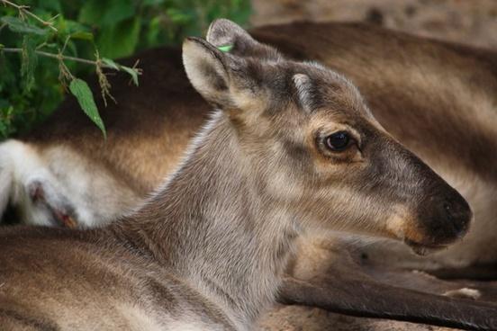 reindeer finland animal
