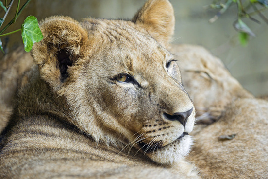 relaxed lion cub